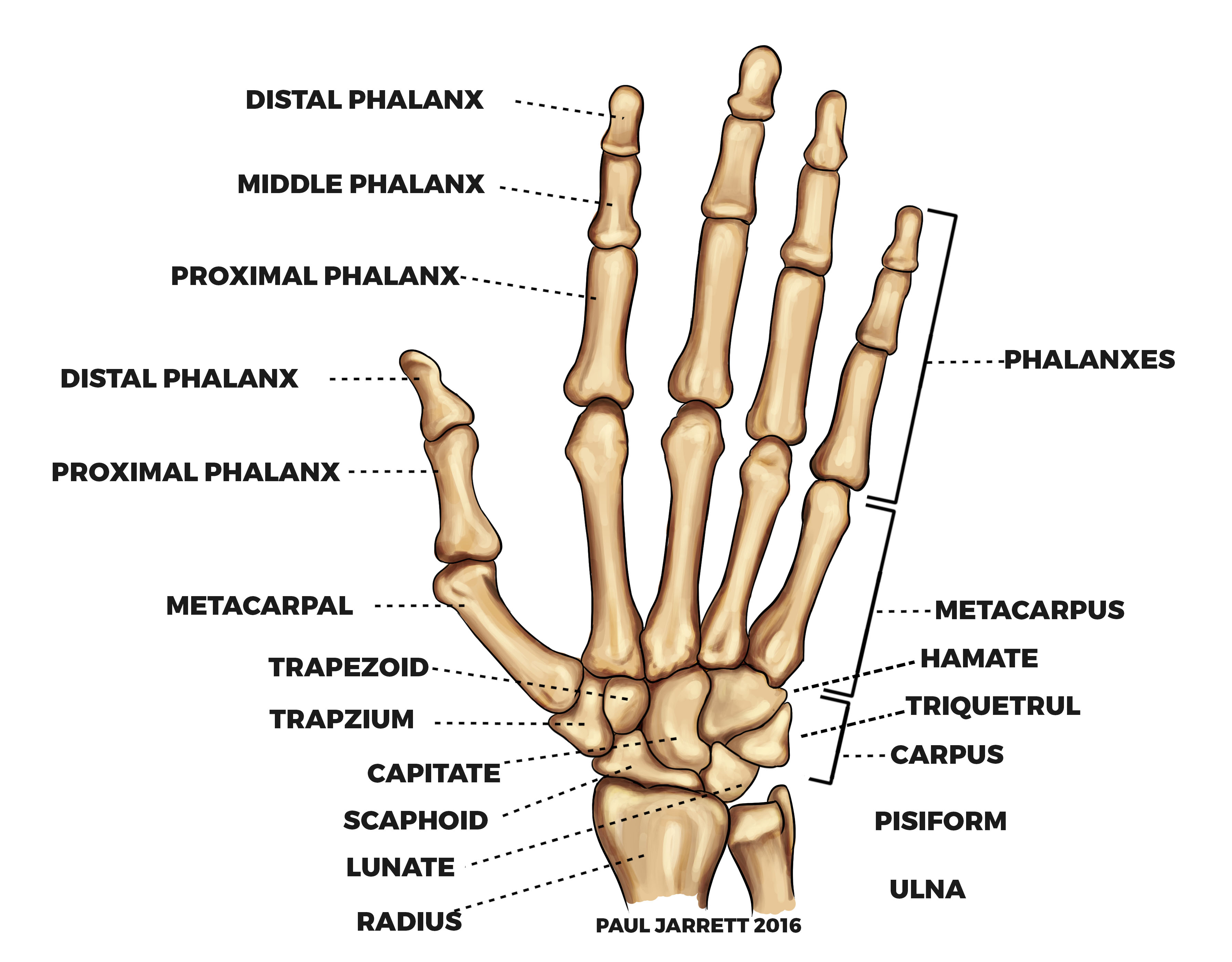 Hand and Wrist Anatomy | Murdoch Orthopaedic Clinic