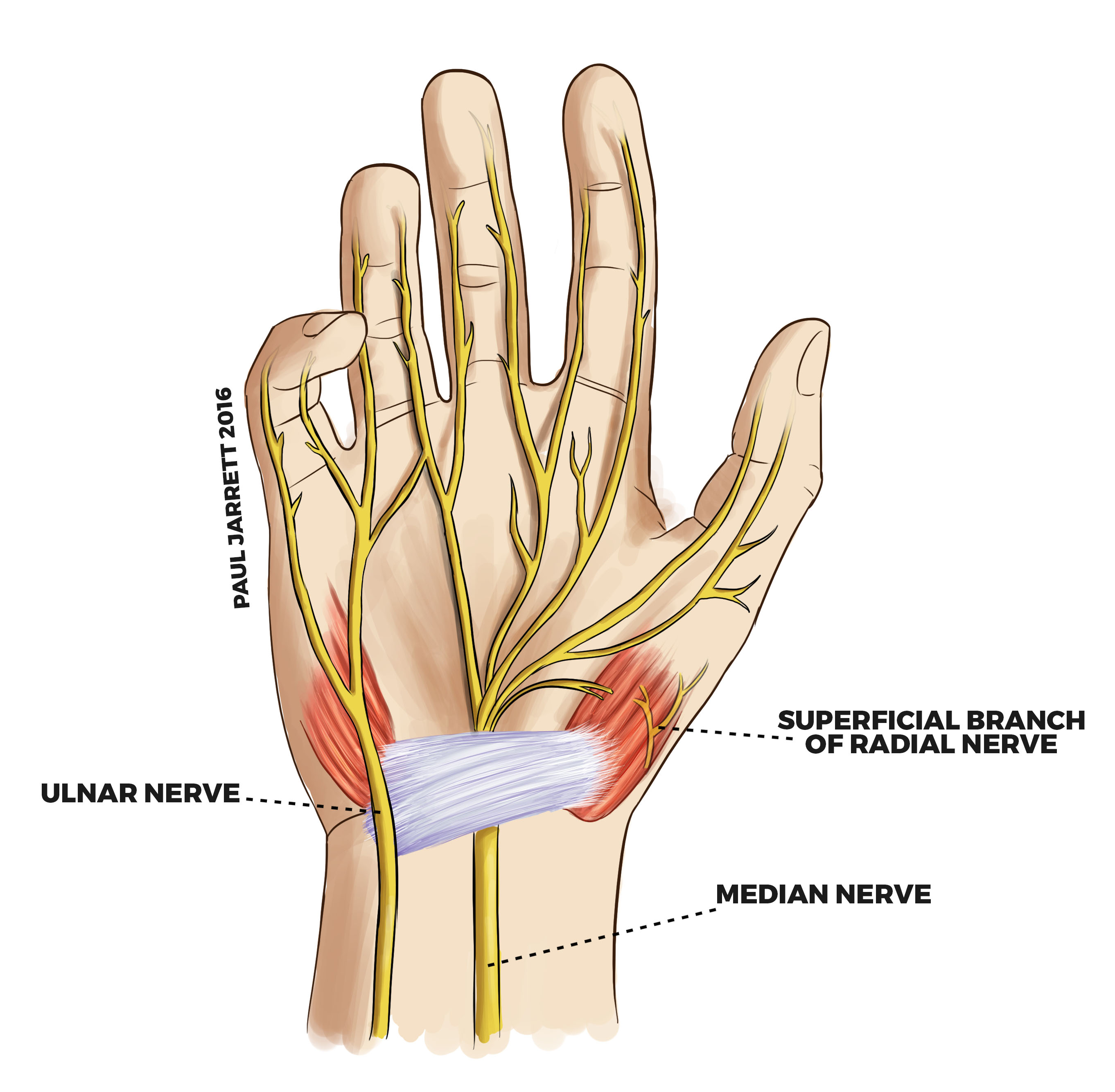 Hand And Wrist Anatomy Murdoch Orthopaedic Clinic